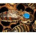 2020 yılı kafkas ana arı