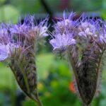 arı otu tohumu 1