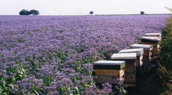 arı otu tohumu 4