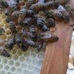 kafkas ana arı 1