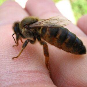 kafkas ana arısı