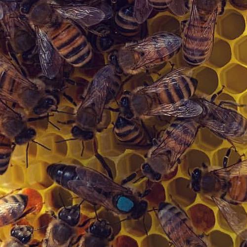 anadolu ana arı 2020