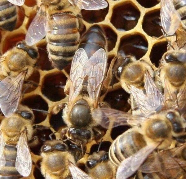 anadolu ana arısı