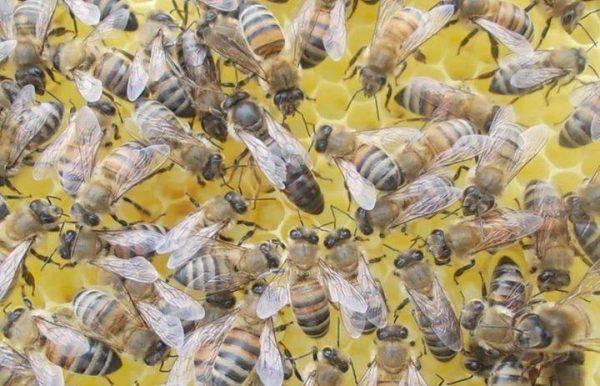 anadolu-arısı-2