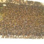 arı zehri aparatı 2