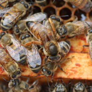 Belfast-Buckfast Ana Arı