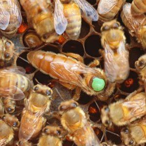 italyan ana arı 1