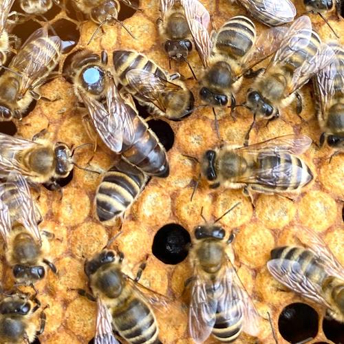 karniyol ana arı 2020