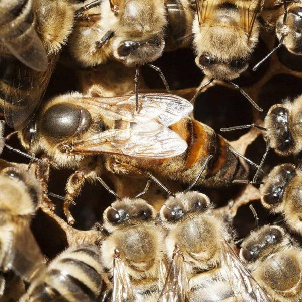 yerli ana arı 1