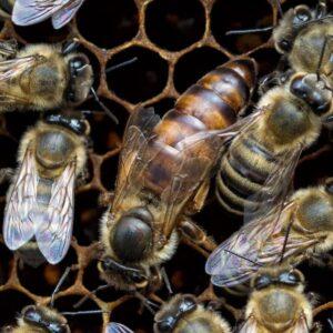 yerli ana arı 2