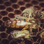 yerli ana arı 3