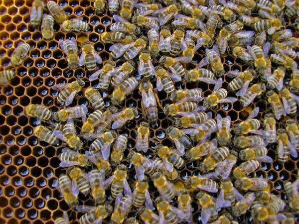 yığılca ana arısı 1