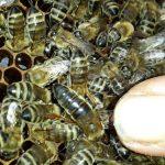 yığılca ana arısı