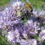 arı otu tohumu faselya bitkisi