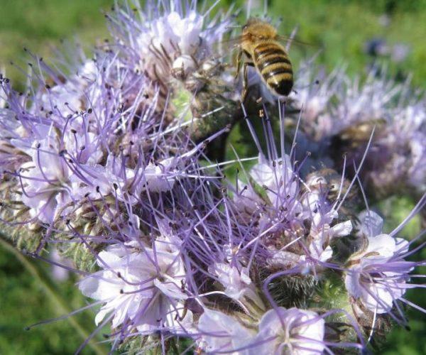 Arı Otu Tohumu (50 Gr)