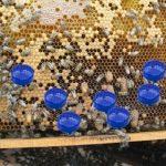ana arı memesi hapsetme büyük