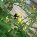 bombus arısı 2