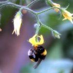 bombus arısı 3