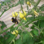 bombus arısı 5